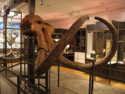 Ostaci mamuta - stepskog slona (Mammuthus trogontherii )