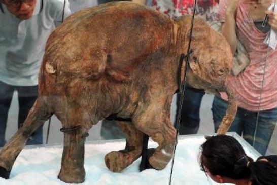 Naučnici pronašli žive ćelije mamuta