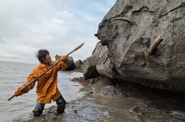 Slava Dolbajev koristi koplje za iskopavanje spiralne kljove iz priobalne ledene litice. Vađenje jedne kljove može da potraje satima, čak i danima. Lovci na kljove često ostavljaju bojene perle ili srebrni nakit kao dar lokalnim duhovima.