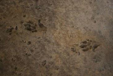 U Španiji pronađen trag dinosaurusa star 230 miliona godina